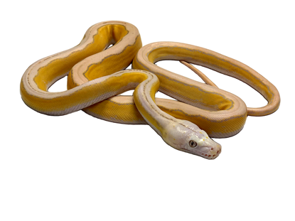 Picture of Platinum Purple Albino Tiger Reticulated Python